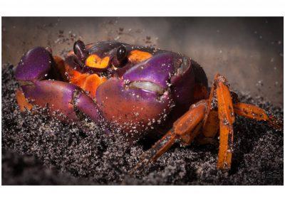 Macro crabe