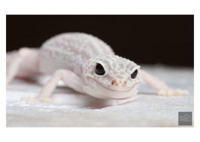 Macro gecko
