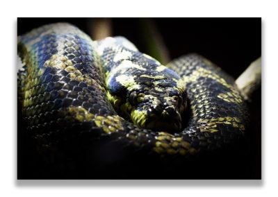 python lové